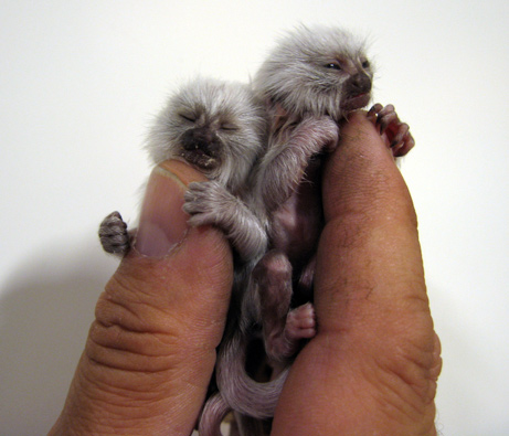 Representative Blumenauer appears to think these baby monkeys are a choking hazard.